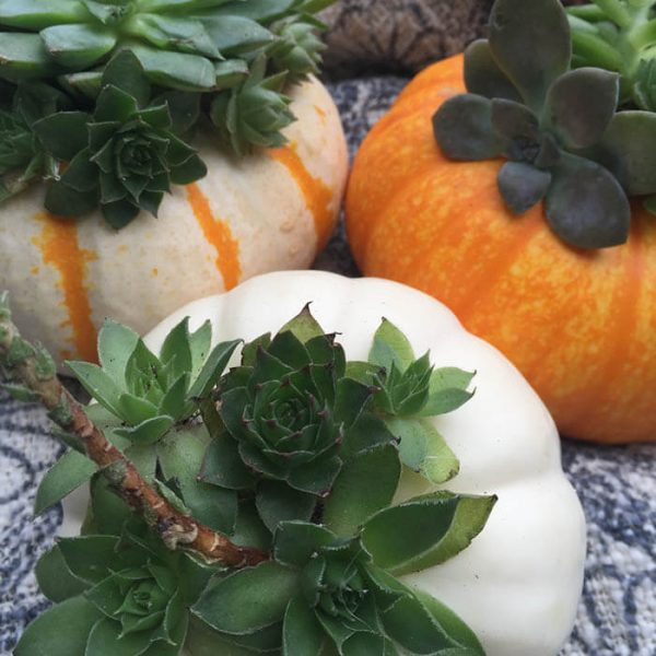 Succulents Pumpkins